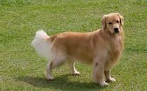 黄金猎犬高清手机壁纸