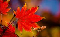 香山红叶唯美大图壁纸