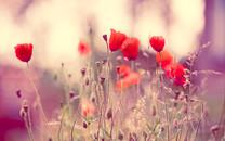 红色植物高清壁纸桌面