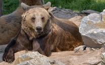 棕熊��X桌面壁�