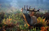麋鹿动物壁纸下载