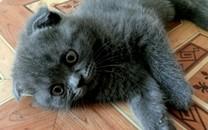 折耳猫高清宽屏壁纸