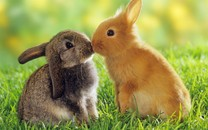 可爱动物小兔子高清电脑壁纸
