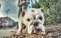 可爱沙皮犬图片壁纸