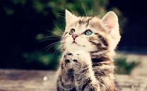 宠物猫图片-宠物猫图片壁纸大全