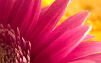 粉色花朵壁纸-粉色花朵图片壁纸大全