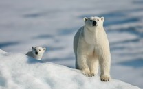 北极熊图片-北极熊高清壁纸图片