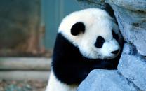 卖萌熊猫壁纸-卖萌熊猫图片壁纸大全