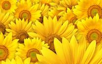 灿烂向日葵高清壁纸