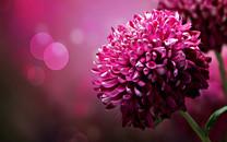 唯美菊花图片-唯美菊花图片大全
