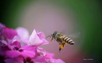 《蜜蜂戏花间》高清微距壁纸