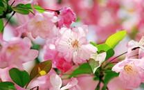 海棠花桌面高清壁纸