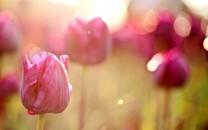 郁金香唯美植物写真壁纸