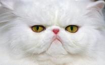包子脸的猫电脑壁纸