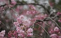 樱花盛开摄影桌面壁纸
