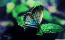 蝴蝶高清电脑壁纸