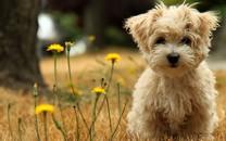 可爱哈瓦那小犬桌面壁纸