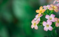 观春花朵桌面壁纸