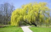 柳树图片-柳树图片壁纸大全