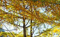 银杏村的秋天风景壁纸(二)
