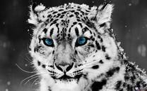 白色老虎图片壁纸大全