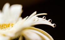 花瓣上的水珠微距摄影壁纸