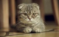 精选可爱的灰色花猫图片壁纸