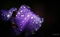 紫罗兰图片-紫色的花壁纸图片