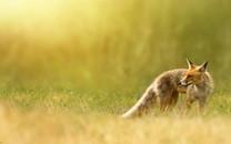 伶俐红狐宽屏桌面壁纸