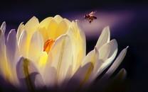 微距镜头花朵与蜜蜂图片壁纸