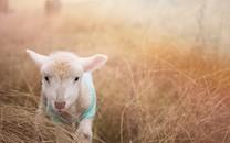 温驯可爱的羊图片壁纸
