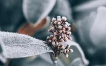 冬季挂霜的植物图片壁纸