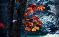 美丽的秋天枫叶图片壁纸