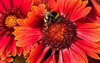 蜜蜂与花高清微距图片壁纸