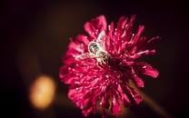 蜜蜂与花高清微距图片壁纸3