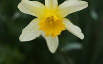 清新典雅的水仙花图片壁纸