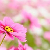 粉红色的花瓣桌面壁纸