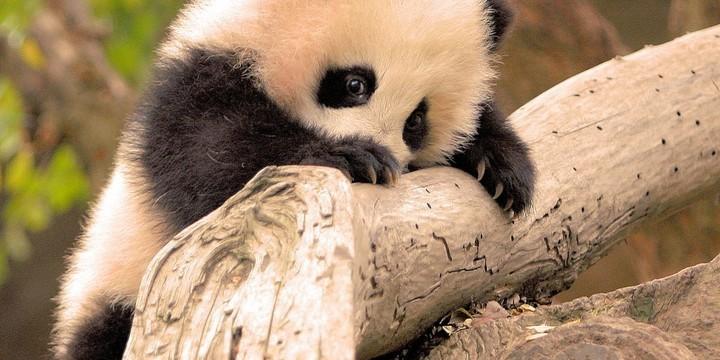 可爱的国宝大熊猫图片壁纸