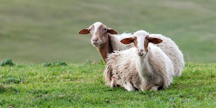 超级可爱萌萌哒的羊图片壁2