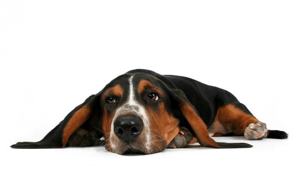 最温顺的狗_最温顺和最凶猛的狗狗排名,你知道有哪些